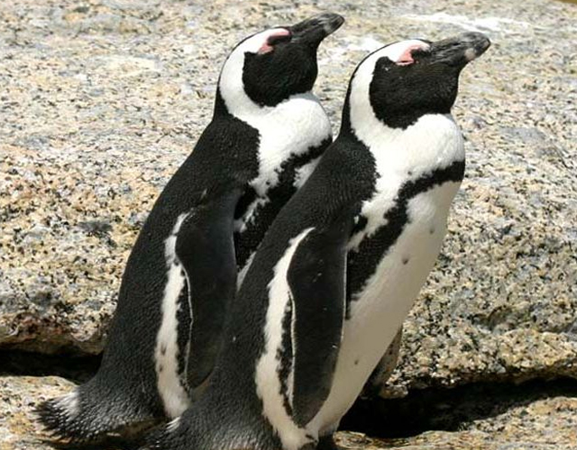 pinguinos homosexuales