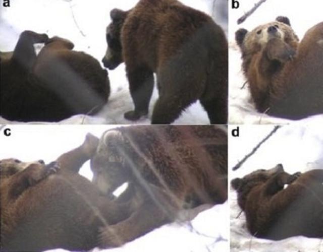 osos gay hora